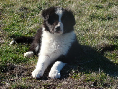 cachorros border collie educacion